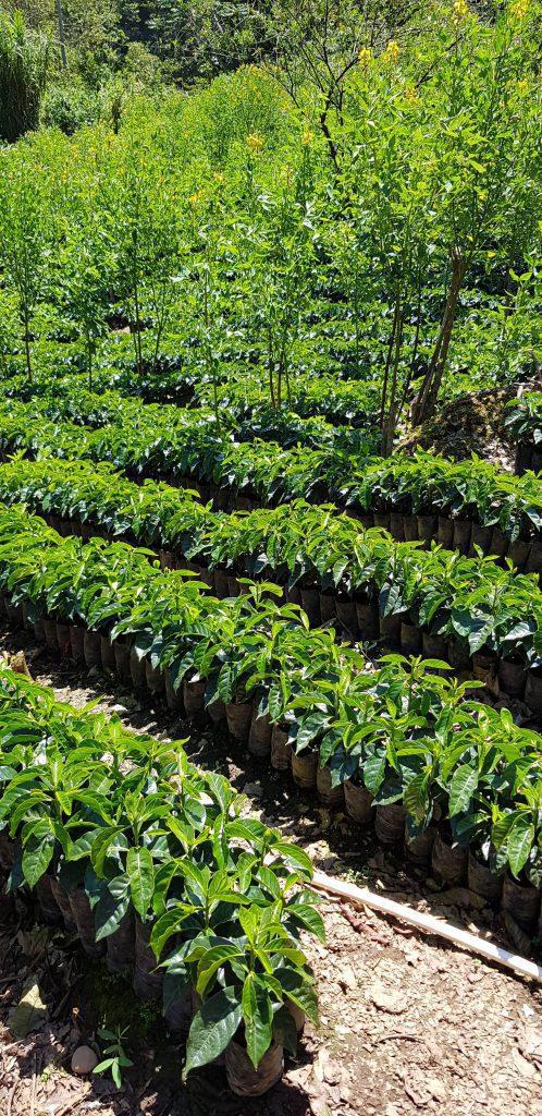 قهوه گواتمالا اسپشالیتی Finca La Providencia